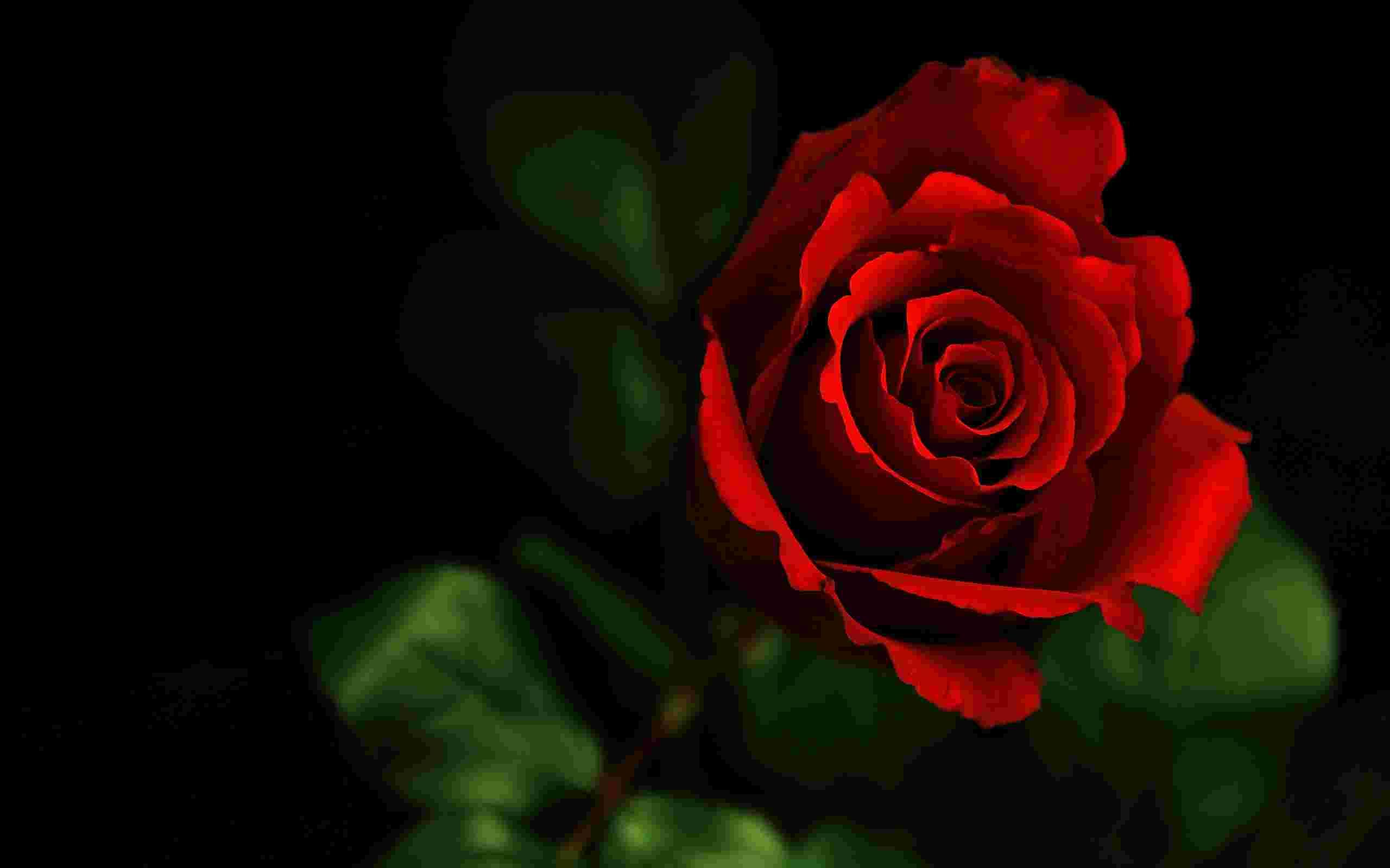 Скачать на телефон картинки розы