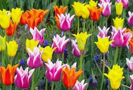 Картинки красивые тюльпаны (35 фото)