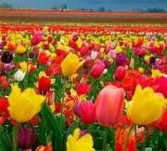Красивые картинки на рабочий стол красивых тюльпанов
