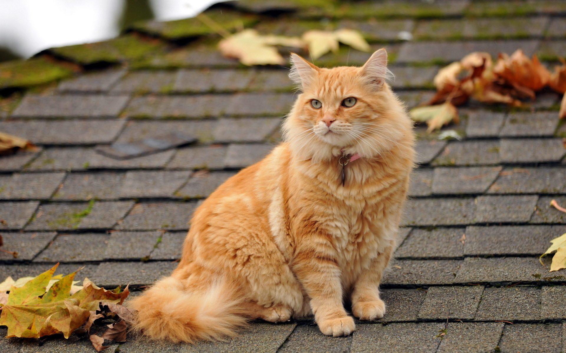 Рыжий котенок обои на рабочий стол