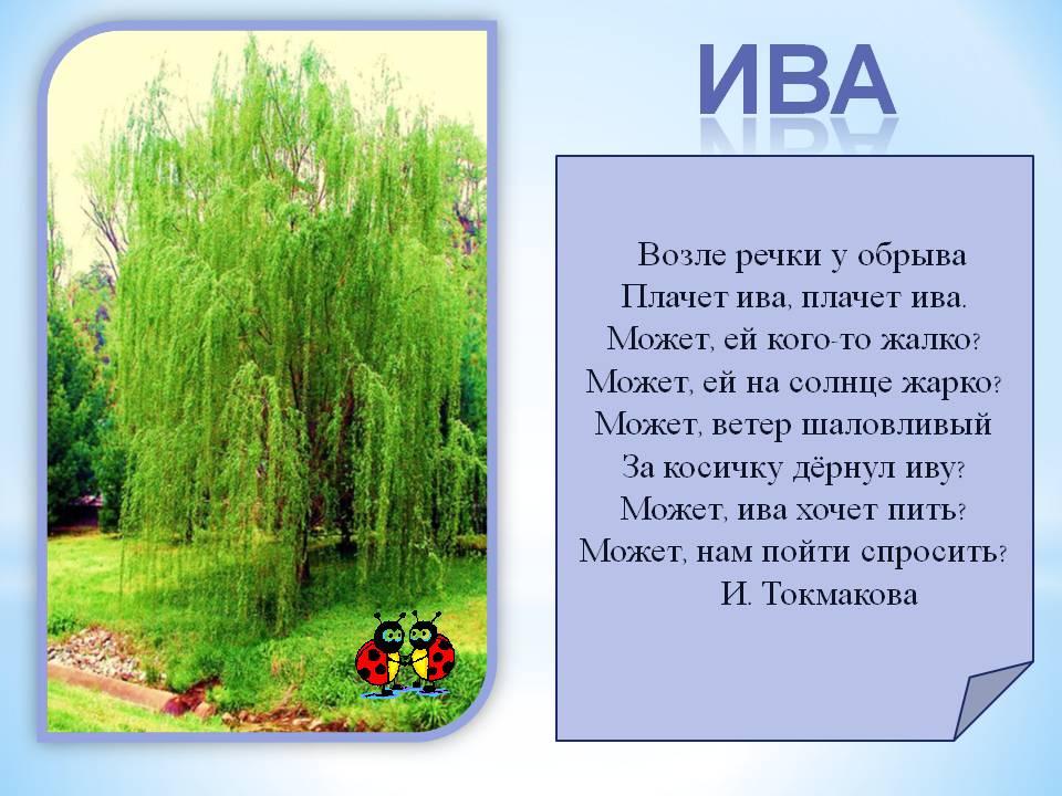 Слива дерево картинки