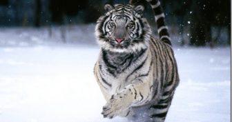 Картинки белый тигр (35 фото)