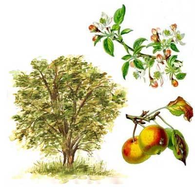 Картинки для детей яблоня (24 фото) • Прикольные картинки ...