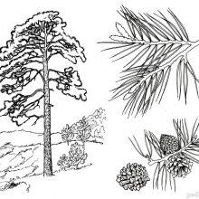 Картинки для детей сосна (12 фото)