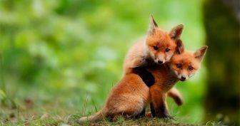Прикольные фото лисы (36 фото)