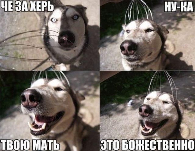 Хаски картинки с собаками
