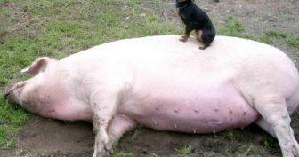 Смешные картинки про свиней (35 фото)