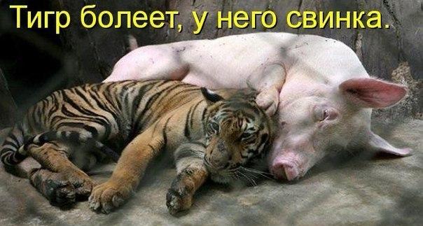 Картинки про свиней