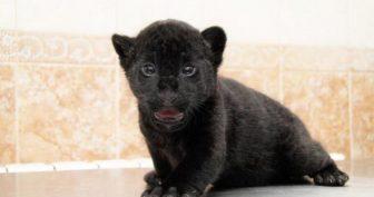 Красивые картинки черный ягуар (23 фото)