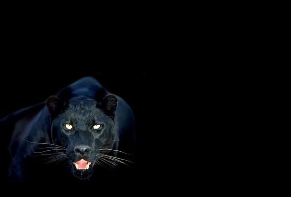 Красивые картинки пантера на рабочий стол (35 фото ... Тигр на Рабочий Стол