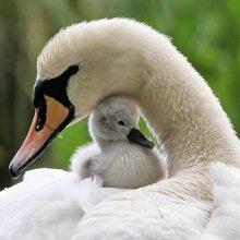 Красивые картинки лебеди (25 фото)