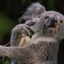 Красивые картинки коалы на рабочий стол (35 фото)