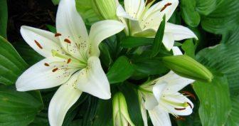 Фото белая лилия (26 фото)