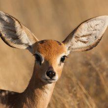 Фото животное антилопа (21 фото)
