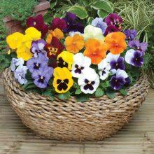 Фото цветов анютины глазки (26 фото)