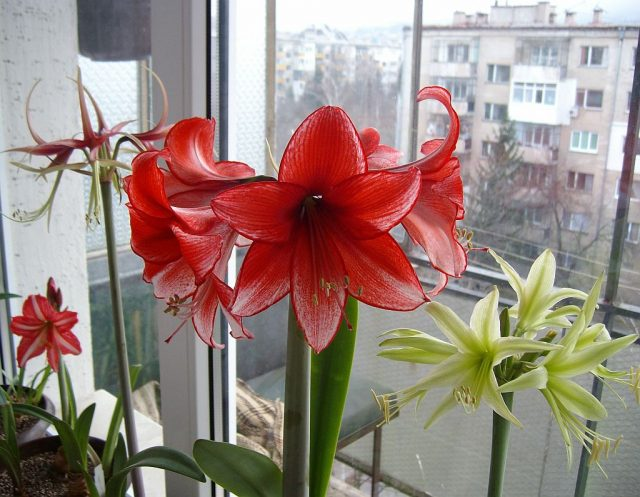 Фото цветы амариллис (30 фото)