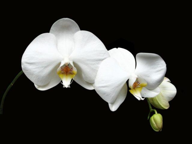 Фото белая орхидея (31 фото)