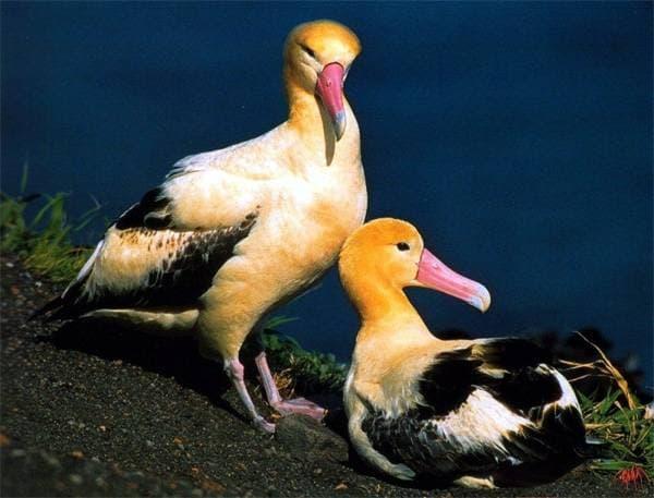Фото птица альбатрос (30 фото)