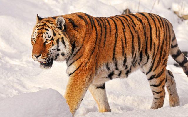 Картинки амурский тигр (31 фото)
